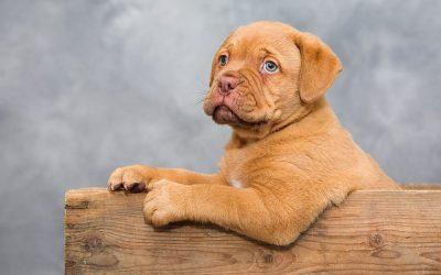 Dogue-de-Bordeaux – Den ideelle familiehund